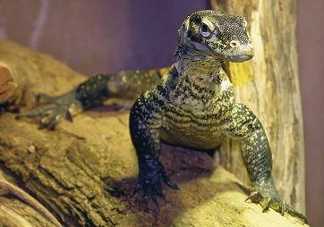 Raja is the first komodo dragon to call Perth Zoo home.