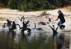 Native Animal Rescue vet nurse Kelli Ellemor attempts to capture an injured swan.Picture: Dominique Menegaldo d399478