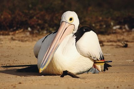 This pelican died after an operation to remove an arrow someone had shot into it. Pictures: Craig Lester