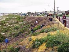 After revegetation: Sorrento dunes in 2013.