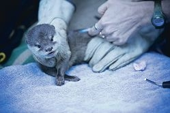 One of the 12-week-old otter pups at Perth Zoo. Picture: Louise White www.communitypix.com.au d402713