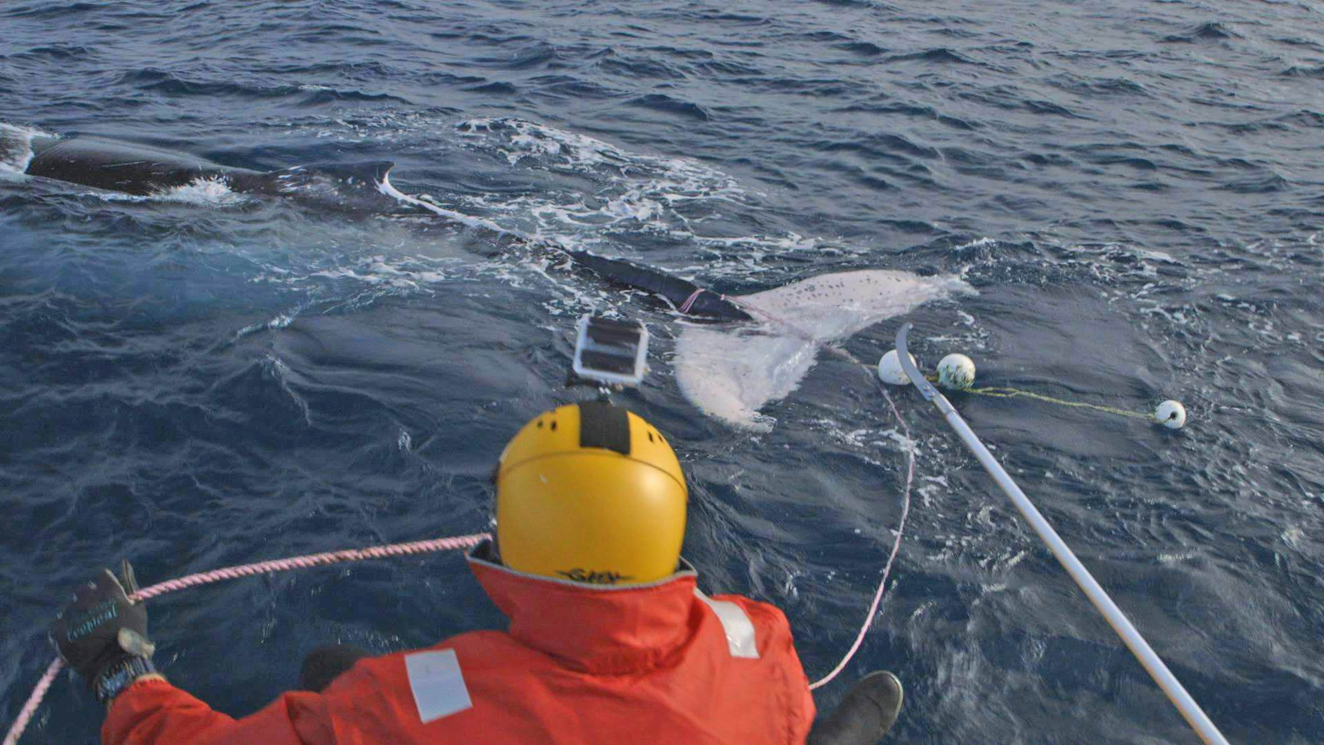 Rescue: entangled in ropes and floats, this humpback whale was freed from its fetters thanks to the efforts of the public and the Department of Environment and Conservation. Pictures: Leighton De Barros