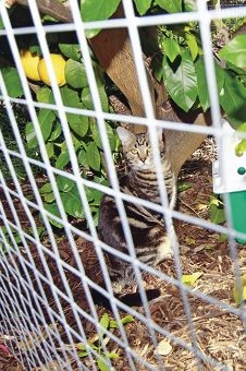 One of Mrs Ducasse's two cats, Fronkos, in his cage with a lemon tree and rosemary bush inside for shade.