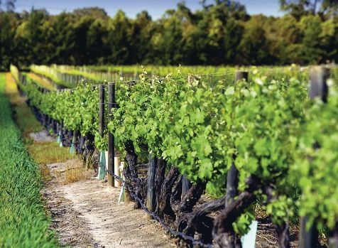 Swan Valley growers are concerned about the disease risk of imported table grape varieties.