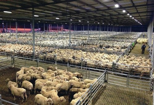 Sheep in the saleyard at Muchea on Tuesday.