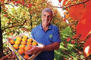 Sweet, crunchy and good for you...Raeburn Orchards owner Paul Casotti with a box of persimmons. Picture: Marcelo Palacios www.communitypix.com.au d401010
