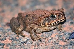 Efforts to protect wildlife from toads