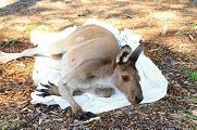 The injured kangaroo released at Melville Glades.