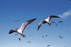 WA's sooty terns are being studied by world experts.