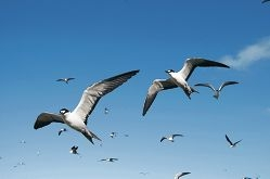 Sooty terns off the WA coast. Picture: C. Surman