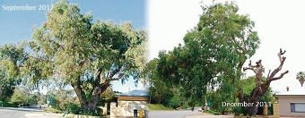Bassendean Town Council is threatening to take legal action over the cutting back of a flooded gum tree without consultation.