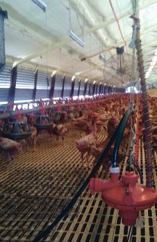 The inside of an enclosure operated by Swan Valley Egg Farms, which has attracted the attention of the ACCC.