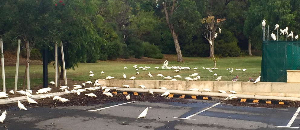 Corella 'invaders' bring problems with them to Perth's north-western corridor