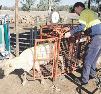 Old and the new: New sheep handling technology will be demonstrated at this year's open day, as farm