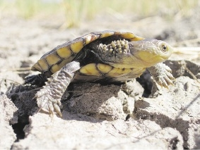 The first wild western swamp tortoise hatchling at Moore River. Picture: Gerald Kuchling, Parks and Wildlife