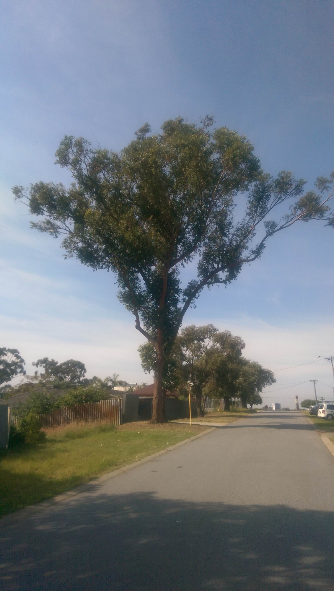 The tree on Hillcrest Crescent to be removed.