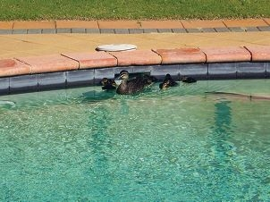 Ducks make their home in a Joondalup pool.