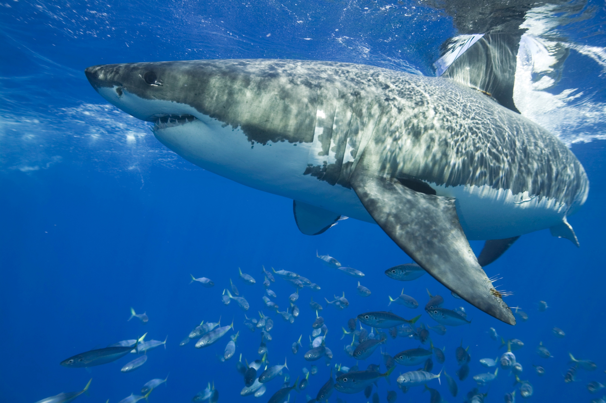 How can South West swimmers be protected from sharks?