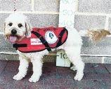Gino the hearing dog will be a big help for Sharlene.