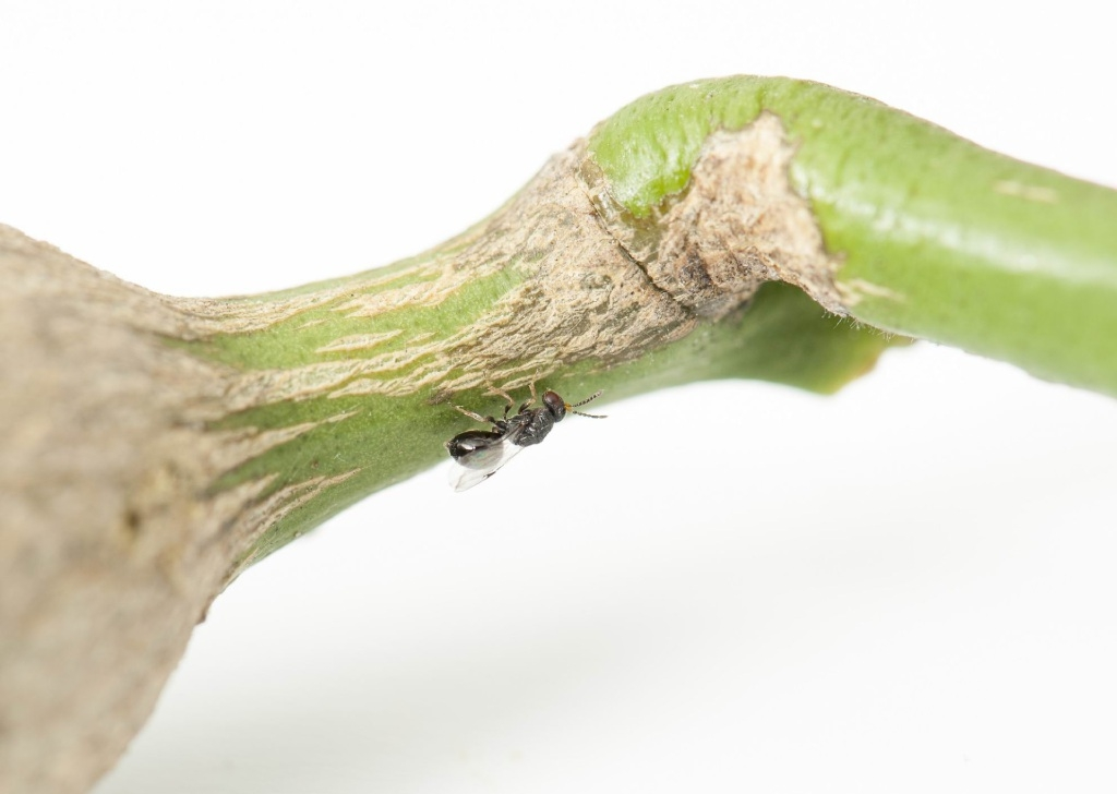 Citrus gall wasps create distinct galls on trees.