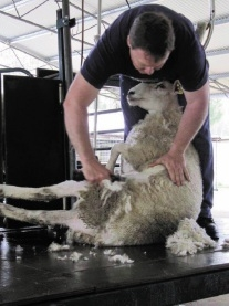 Sheep shearer Steve Bindoon will have some tips for people owning sheep.