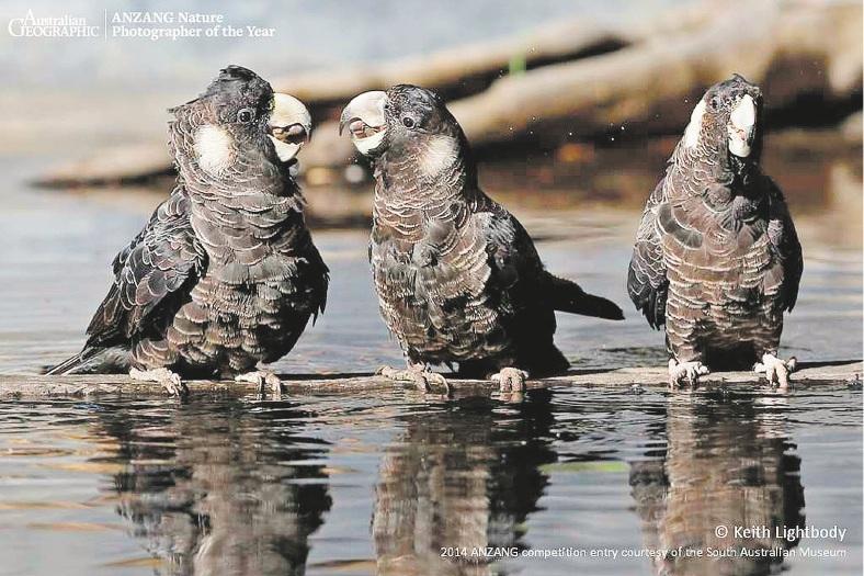 Keith Lightbody's photo of three cockatoos, Social Drinking, won the Threatened Species category.
