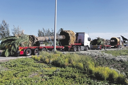 Palm trees on the way to be transplanted in Alkjmos.d435304