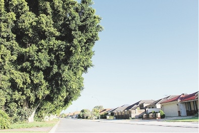 The fig trees opposite the houses in Madeley.