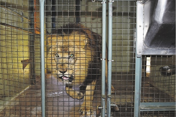 Mandela the Lion died from heart failure today. Picture: Marcus Whisson.
