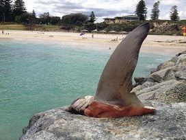Part of the shark found on Cottesloe groyne.