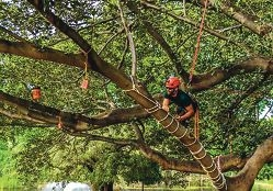 The State's male tree climbing champion Riki Peterson climbing the |Moreton Bay Fig tree in Hyde Park.