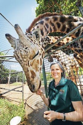 Pert Zoo senior vet Simone Vitali feeds the giraffes. Picture: David Baylis www.communitypix.com.au d427049