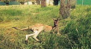 The western grey kangaroo stranded in Willetton was moved to Darling Range Wildlife Shelter for treatment.