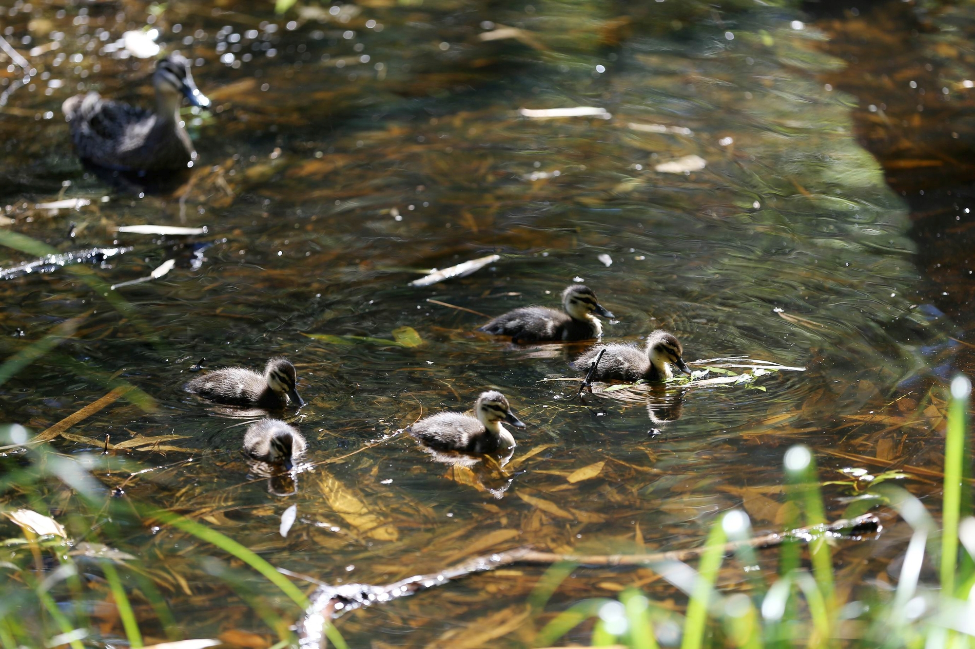 Ducks at Masons Gardens. Picture: Andrew Ritchie d426439