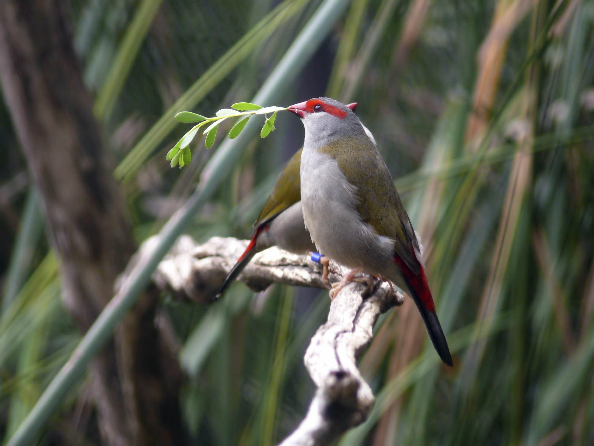 A red-browed finch.