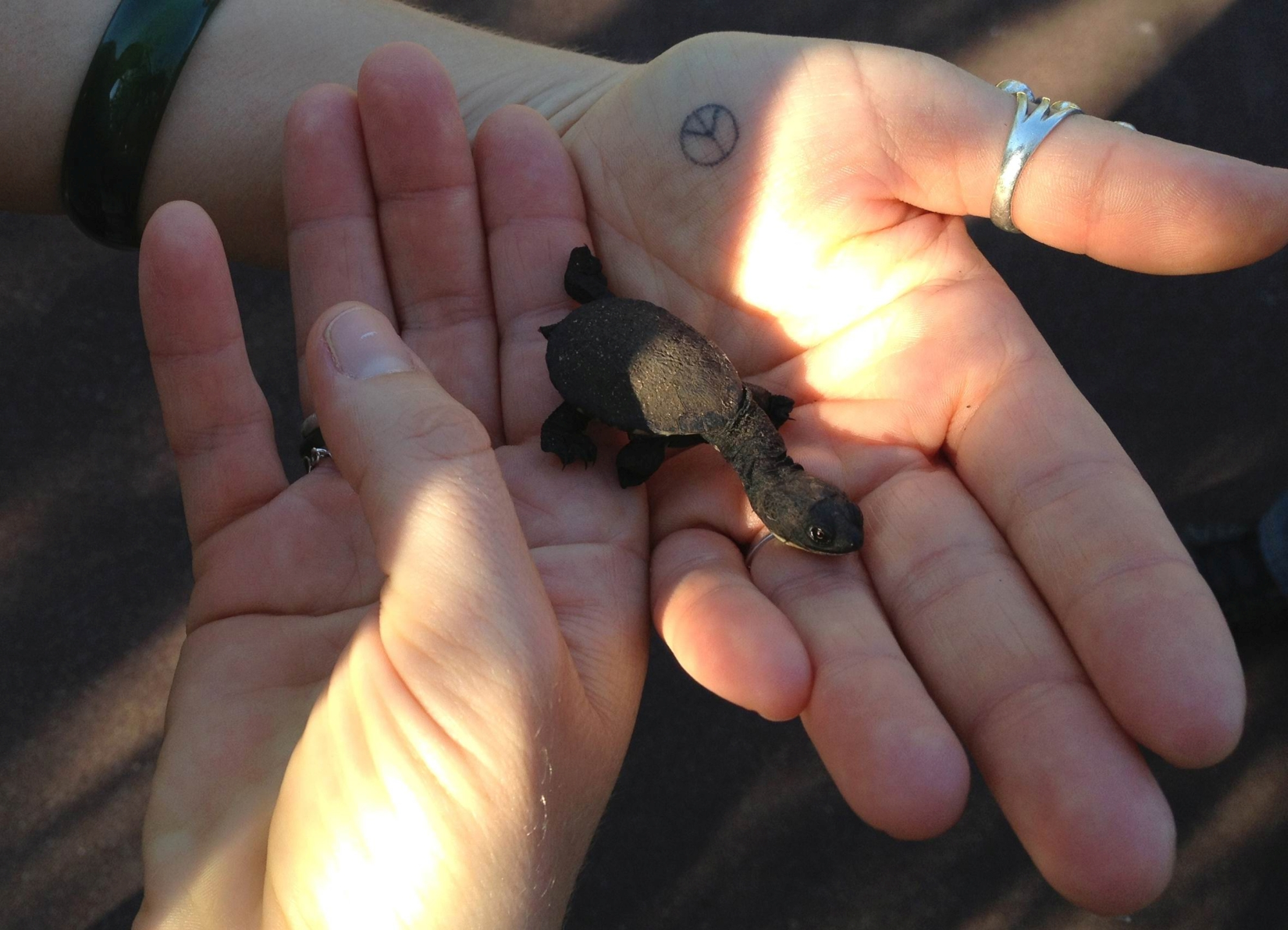 Runner Renee Rose found this baby turtle near Lake Joondalup recently.