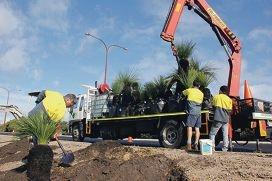 City staff replant Nicholson Road's old grass trees.