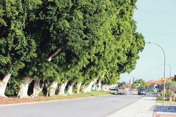 The Russell Road fig trees stand proud and tall in Madeley, where residents spoke out to save them from the axe. Inset: Brian Williams being interviewed on the street last week.