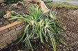 Remaining agapanthus plants at Franks house.