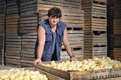 Potato king reigns over Kelmscott