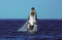 Doug Coughran spots for whales off the WA coast. A migrating humpback whale breaches off Fremantle.