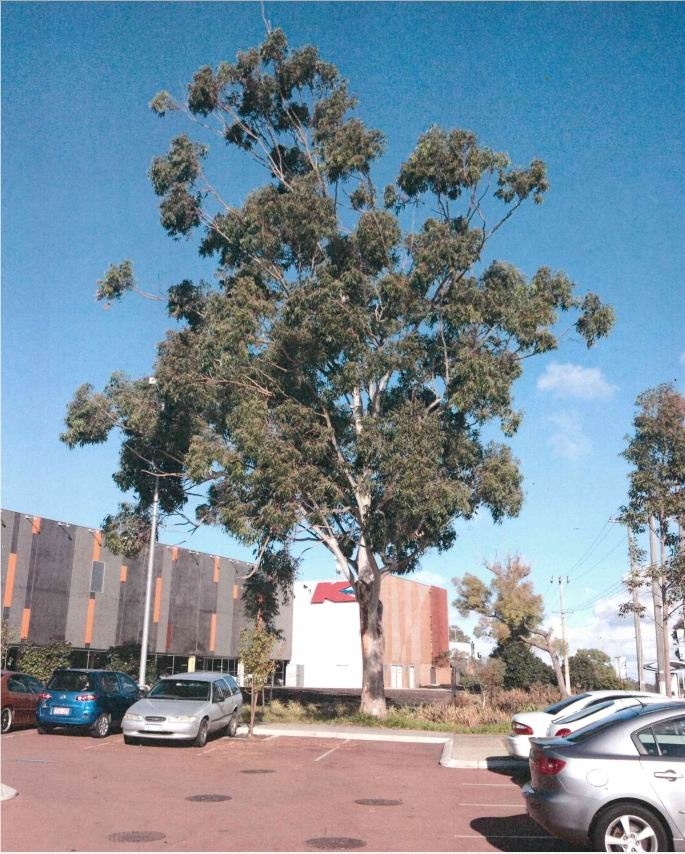 Eucalypt expected to make way for liquor store.