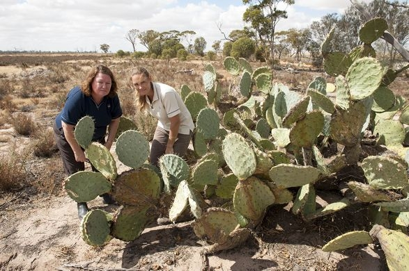 Department research officer Sandy Lloyd (left) and biosecurity officer Terri Jasper among the wheel cactus infestation.
