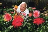 Gerry Gillett with some of his prize gerberas. d418760
