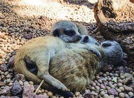The meerkat kits at Perth Zoo.