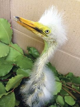 Perth Zoo has provided a safe home for Puffin, an orphaned baby great egret.