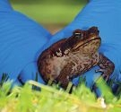 Perth paradise for cane toads