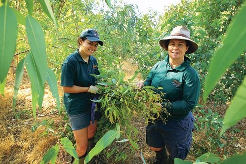 Koala keeper Petra Hancock and horticulturalist Kathie Mauger pick eucalypt tips for the Koalas at Perth Zoo.
