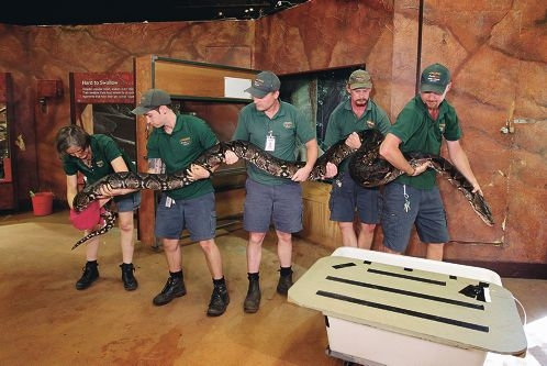 Vet Simone Vitali with zoo keepers Sean Renner,Arthur Ferguson,Sean Wilkin and Brendan McGill with Cuddles the reticulated python.