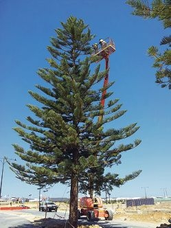 One of the pine trees being decked out with festive lights.